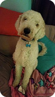 339 Best Our Adoptable Dogs Images Goldendoodle Goldendoodles