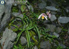 Bletilla formosana 臺灣白及 台灣生物多樣性資訊機構