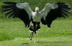 secretary bird - Google Search