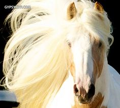 Gypsy Vanner Horses for Sale | Stallion | Dragon Fire