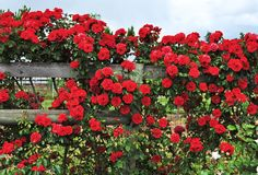 How to Grow Climbing Roses in a Small Space Garden Photos | Architectural Digest