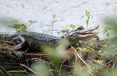Young alligator at Lettuce Lake Park