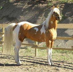 The tobiano palomino stallion, TW Sunsation
