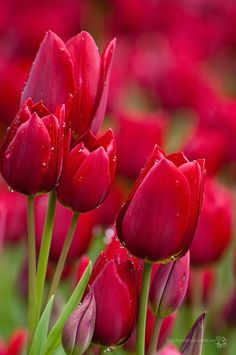 red Tulips Bloom on We Heart It - Imgend Red Tulips, Tulips Flowers, Flowers Garden, My Flower, Pretty Flowers, Spring Flowers, Planting Flowers, Flower Shape, Colorful Flowers