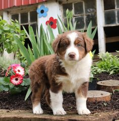 ✨Hi I'm a #Cute #AustralianShepherd puppy and I want to go everywhere with you! Brandy is so friendly and loves to give #PuppyKisses. This little bundle of fluff will love to meet you.🌷💚 #Charming #PinterestPuppies #PuppiesOfPinterest #Puppy #Puppies #Pups #Pup #Funloving #Sweet #PuppyLove #Cute #Cuddly #Adorable #ForTheLoveOfADog #MansBestFriend #Animals #Dog #Pet #Pets #ChildrenFriendly #PuppyandChildren #ChildandPuppy #LancasterPuppies www.LancasterPuppies.com Australian Shepherd Puppies, Lancaster Puppies, Love To Meet, Animals Dog, Puppies For Sale, Mans Best Friend, Puppy Love, Corgi, Pets