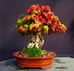 MiKo Bonsai: Some more autumn colour