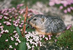 Lemming & Flowers Rodents, Nature Animals, Arctic, Super Cute, Creatures, Pets, American, Google, Flowers