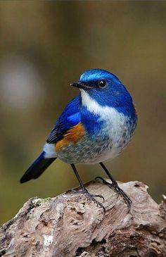 ✿༻ Himalayan bluetail (Tarsiger rufilatus)