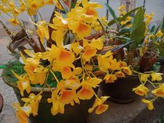 Dendrobium Orchids, Creepers, Bridal, Plants, Nuthatches, Plant, Bride, The Bride, Planets
