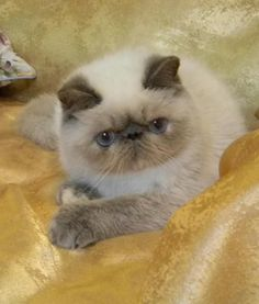 Persian Cat Shorthaired exotic shorthair kittens - Persian cats and kitties I Love Cats, Cool Cats, Cat Online, Himalayan Cat, Cat With Blue Eyes, Exotic Cats, Exotic Shorthair, Cat Facts, Beautiful Cats