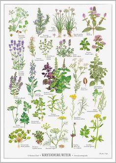 """""""Krydderurter""""-plakat fra Koustrup & Co. Vintage Botanical Prints, Botanical Drawings, Botanical Art, Poster Shop, Foeniculum Vulgare, Flower Names, Plant Drawing, Nature Journal, Foliage Plants"""