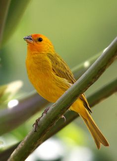 Canário-da-terra - Saffron finch (Sicalis flaveola) (Thraupidae family) | Flickr - Photo Sharing!