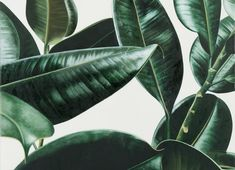 New Ideas Flowers Tropical Illustration Botanical Prints Plant Painting, Plant Drawing, Nature Drawing, Ficus Elastica, Cool Plants, Green Plants, Plant Wallpaper, Plant Aesthetic, Mosquito Repelling Plants