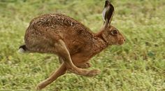 hares - Google Search
