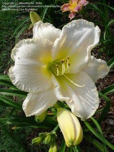 Daylily 'White Perfection'  Hemerocallis
