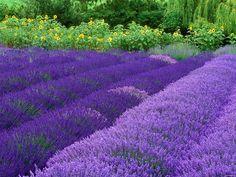 Gepind van kepguru #LavenderFields
