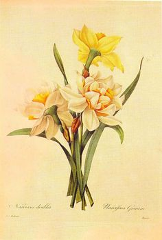 Narcissus incomparabilis Double Flowers Bouquet Vintage