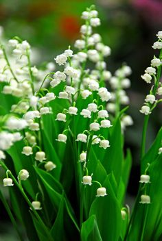 Buy lily-of-the-valley Convallaria majalis: Delivery by Crocus.co.uk