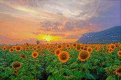 35 Beautiful Examples Of HDR Sunset Photography | Design Inspiration | PSD Collector / SUNFLOWER'S SUNSET by Fabio Gismondi
