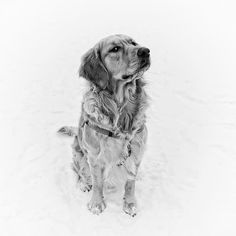 "Squeeky with ""that look"". #instagoldenretriever #dogsofinstagram #woofwoof #ilovemydog #dogoftheday #dogsagram #petsagram #cute #weeklyfluff #dogscorner #adorable #mydog #inu #instapet #photography #bw #blackandwhite #dog #winter #snow #goldenretriever #blackandwhitephotography #AnimalAddicts"