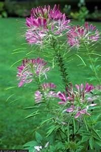 cleome or spider flower...non stop blooming, tall full sun...spider flower want some this year.