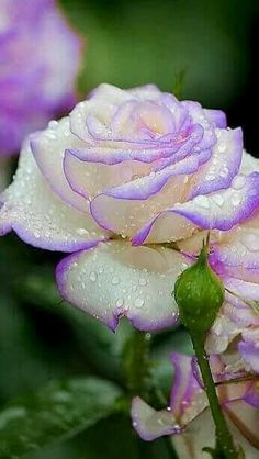 Lilac tipped rose