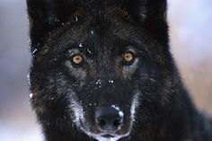 I can see you! #wolf
