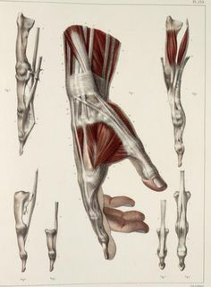 Muscles+and+tendons+of+the+wrist+and+hand2.jpg (554×753)