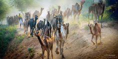 Pushkar-CL-128 - Pushkar (camel fair)