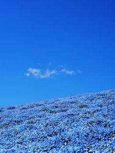 Blue Hill (Nemophila) #ネモフィラ #Nemophila
