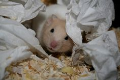 The scoop on hamster bedding.