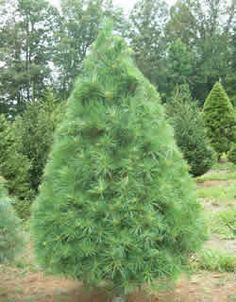 Austrian Pine Oregon Green Tree Species Blogspot Com