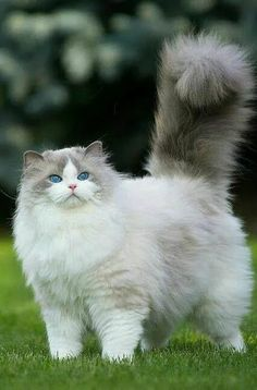 19 Fantastiche Immagini Su Gatto A Pelo Lungo Cute Kittens Dog