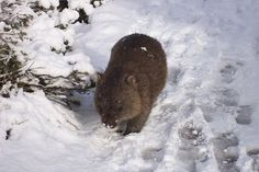 wombat in the snow at Cludle Mountain