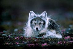Arctic fox at Svalba
