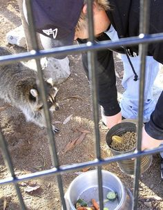 A Willow Park Zoo employee feeds one of the raccoons at the zoo in Logan, Utah. (Photo by John Zsiray)
