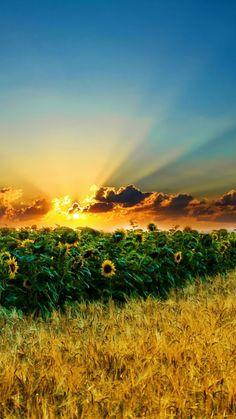 Natural Scenery Sunflowers #iPhone #6 #plus #wallpaper