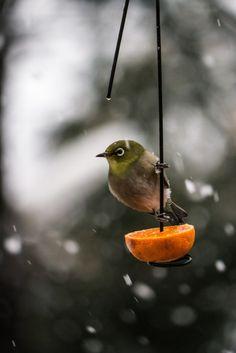 tinnacriss: 2013 Japnese White-eye #2 by Yorkey&Rin Via Flickr: 雪が降ってもミカンを食べにきたメジロさん。 庭
