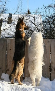 German Shepherd Andrews favorite and a Samoyed one of my favorites! Animals And Pets, Funny Animals, Cute Animals, Beautiful Dogs, Animals Beautiful, Big Dogs, Dogs And Puppies, Terrier Puppies, Bull Terrier