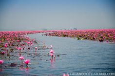 Red Lotus Sea in Udon Thani, Thailand  | Tieland to Thailand |