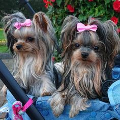 れなちゃん... Maltese Yorkie Mix, Mini Yorkie, Yorkie Puppy, Yorkies, Cute Dogs And Puppies, Pet Dogs, Dog Cat, Yorkie Hairstyles, Yorshire Terrier