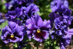 Viola wittrockiana 'Frizzle Sizzle Blue' - Havestedmor, farve: blålilla nuancer/duftende, lysforhold: sol/halvskygge, højde: 15 cm, spiselig, fjern visne blomster, klippes halvt ned i august, trives i porøs og næringsrig muldjord.