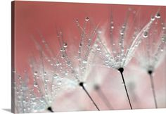 Premium Thick-Wrap Canvas Wall Art Print entitled Water droplets on a dandelion with the color from blossom in the background., None