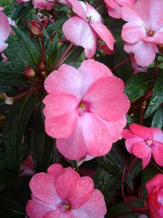 Bright pink double vinca. These have only been available where I live for the last few years. Look at those big, blushing blossoms. I found these in Decatur, GA. Eileen H. Kramer
