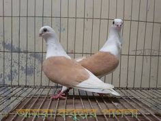 Pigeon Cage, Pigeon Pictures, Pigeon Breeds, Dove Pigeon, Eagle Wings, Rare Birds, Kinds Of Birds, Beautiful Birds, Animals And Pets