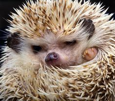After cats, hedgehogs might be the internet's favorite animal. But how much do you know about these spiky mammals—other than how cute they look when getting a bath?