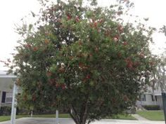 New tree as hurricanes tore down the original one - News - Bubblews