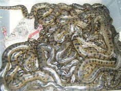 Nest of anacondas Green Anaconda, Kinds Of Snakes, Lizards, Frogs, Nest, Target, Tattoo, Baby, Animals