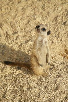 tiny meerkat alone in a big meerkat world.