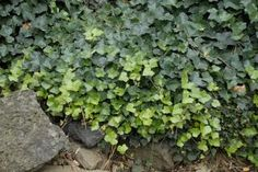 plants to landscape shade slope to prevent erosion | English Ivy - Photo Credit: Walters Gardens